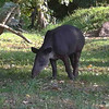 Tapir off Sittee River road
