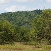 Orange grove off Hummingbird Highway