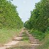 Orange grove off Sittee River road
