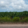 Banana plantation off Southern highway