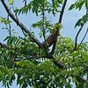 Iguana over Sittee River