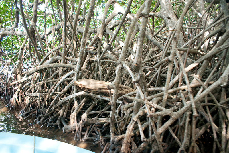 Mangrove roots along the cut