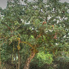 Tree with parasite near Hopkins Village