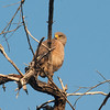 Roadside Hawk