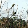 Amazon Parakeets