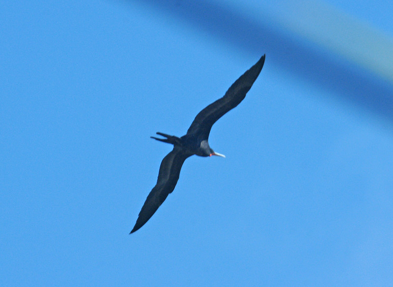 Female Magnificent Frigate Bird