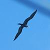 Female Magnificent Frigate Bird