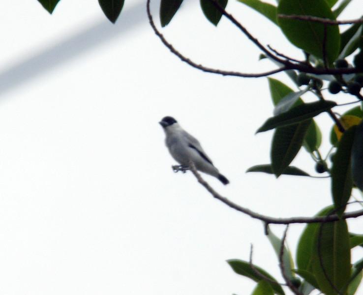 Black-crowned Tityra