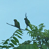 Amazon Parakeets along drive from Maya Center