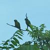 Amazon Parakeets along drive from Maya Center