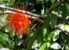 The Panama Flame (Brownea macrophylla) is native to South America but seems to florish in Central America as well.