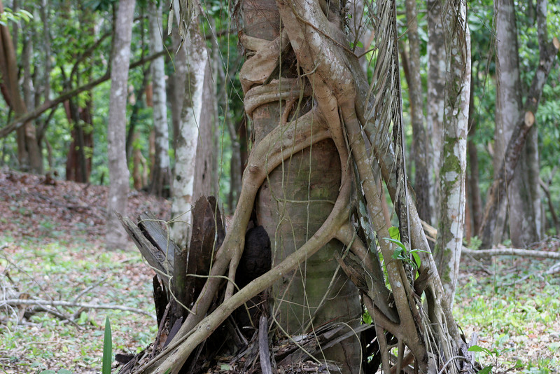 This tough vine uses a host tree to climb to the forest canopy. Eventually the tree will die and rot leaving it's captor free standing.