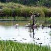 Roseatte Spoonbills
