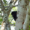 Howler monkeys at north end of the site