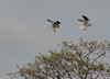 White tailed kites settling to roost.