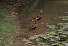 A family of Black-bellied Whistling ducks - both adults watching for possible threats to their brood.