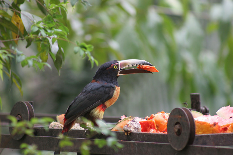 A Collared Arcari samples papaya  put outside a small restaurant high above the Macal river.