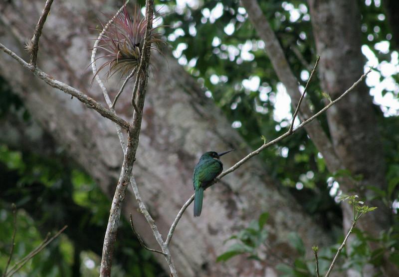 Rofous-tailed Jacamar