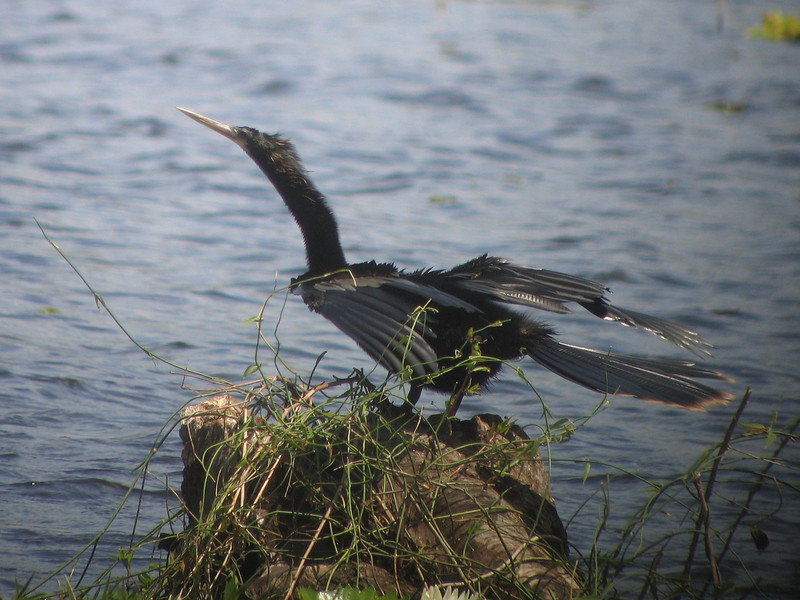 An adult Anhinga drys his wings,
