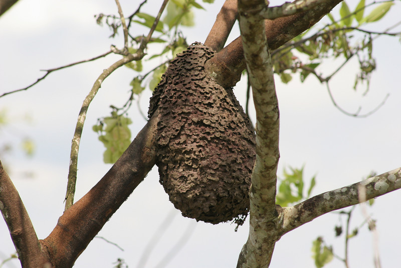 Termite nests hang suspended from many forest branches.