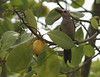 A Golden-fronted Woodpecker feeds on cashew apples.