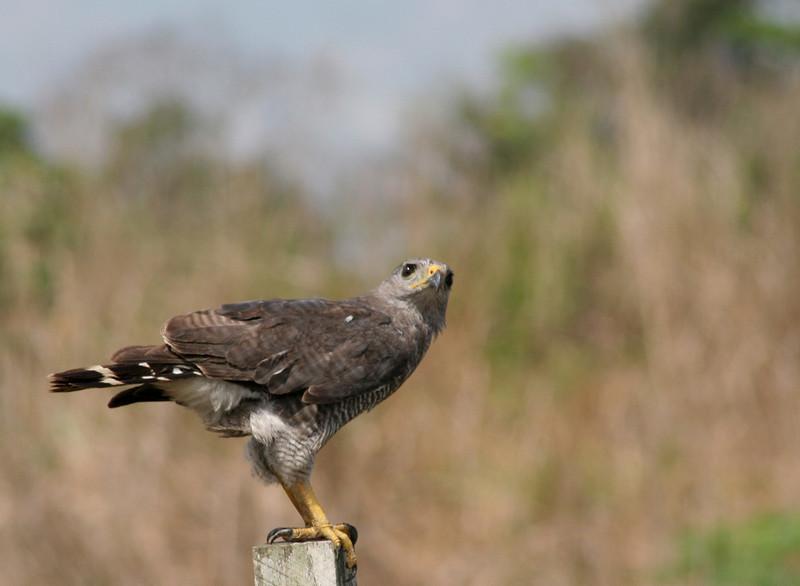 A roadside Hawk watches for prey.