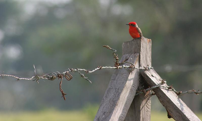 The male Vermillion Flycatcher.