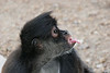 Friendly little thieves - spider monkeys make their displeasure known in a very human way !