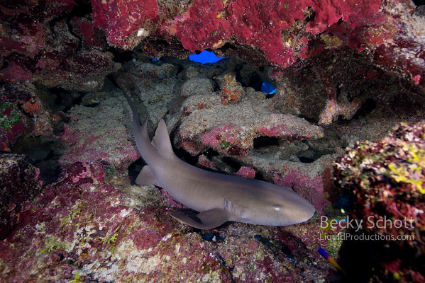 Nurse shark under rocks
