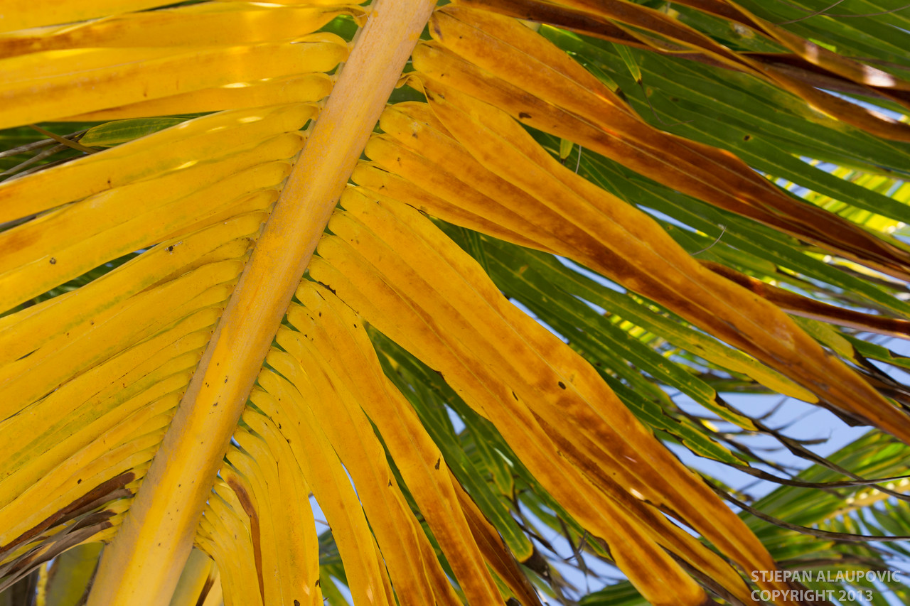 Yellow Palm in Belize