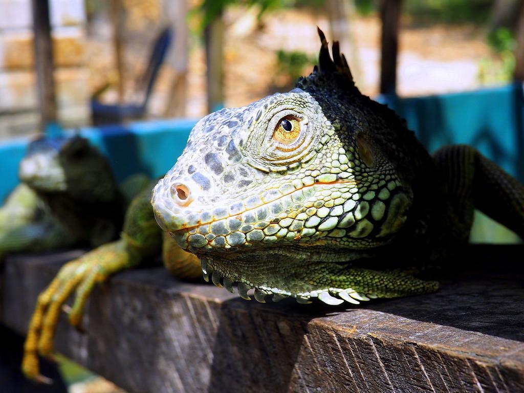 iguana belize