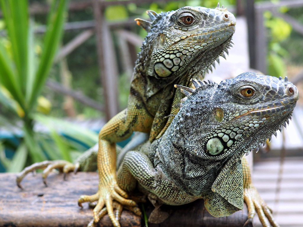 iguana sanctuary in belize
