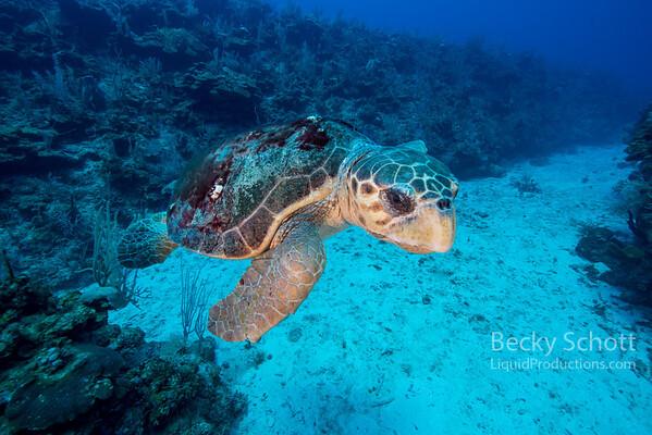 Loggerhead turtle caye caulker wall