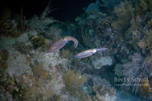 night squid