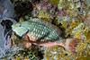 parrot fish sleeping