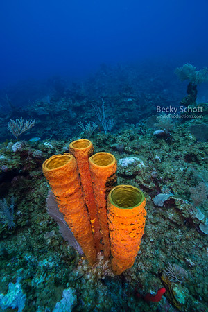 Trumpet sponges Belize