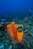 Trumpet sponges Belize