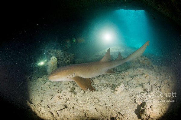 Nurse shark in cavern