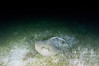 Southern sting ray at night in grass