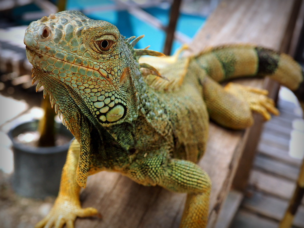 embarrassing travel stories: the iguana that mauled me