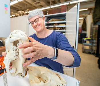 Dr. Sharon Jansa examines skulls in Bell Museum collection.