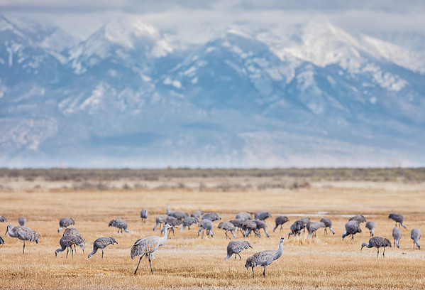 14 - Sandhill Cranes, Monte Vista National Wildlife Reserve