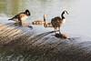 Geese on the Lott Dam.