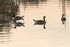 Geese in the Moira River.