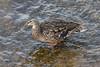 Duck at Lott Dam.