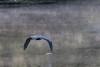 Heron flying down the Moira River.