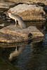 Heron at Lott Dam.