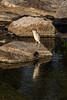 Heron at Lott Dam.