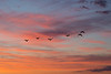 Geese over the Bay of Quinte before sunrise.