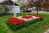 Tulips, 1000 of them, planted last fall at St. Joseph Catholic School in Belleville in the pattern of a Canadian flag.